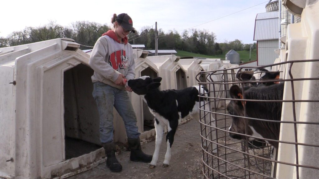 student feeds calf with bottle